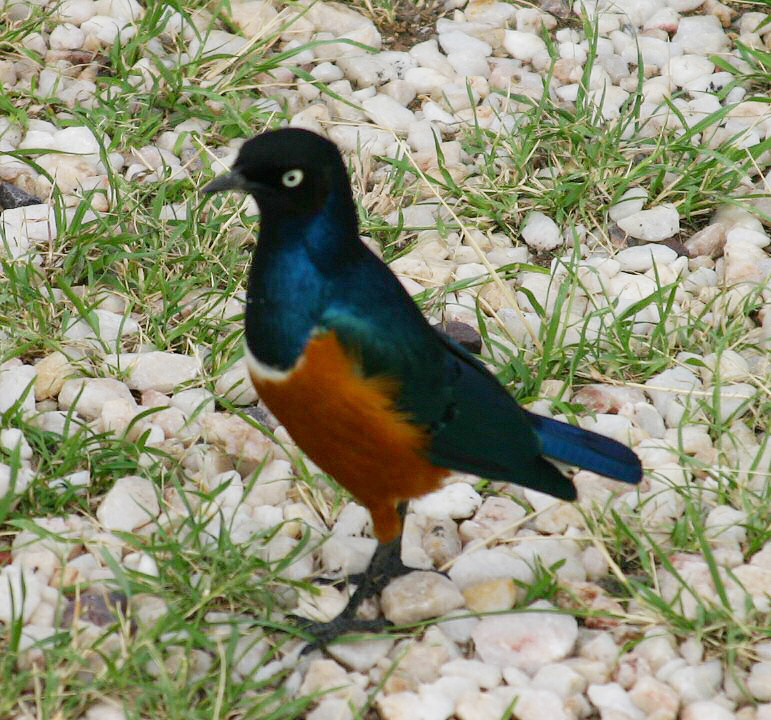 Superb Starling ... is this not a superb bird?