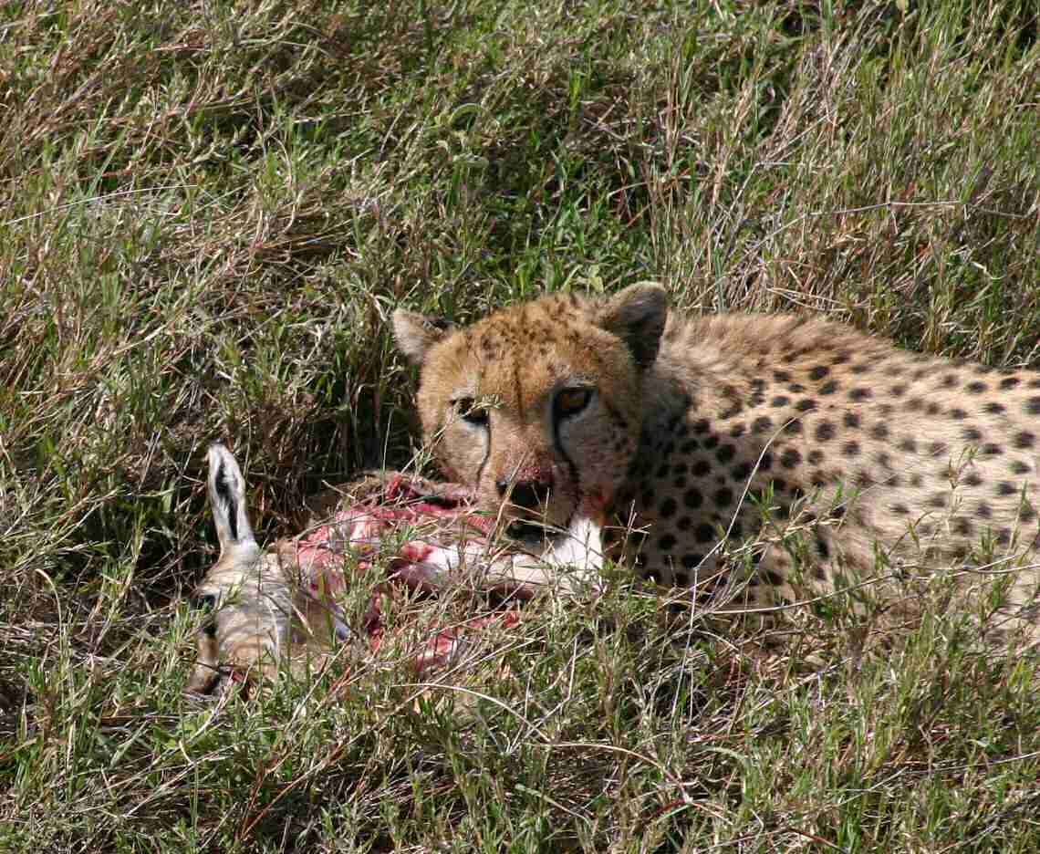 A Cheetah on her kill