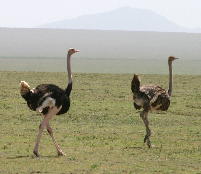 Ostrich ... male left, female right