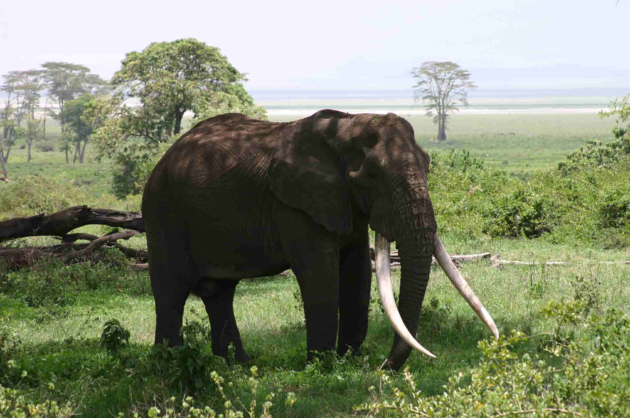 A big tusker in Ngorongoro Crater